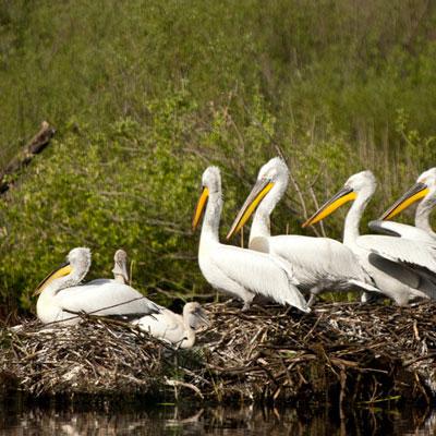Pelicanen-shkodra-meer-400