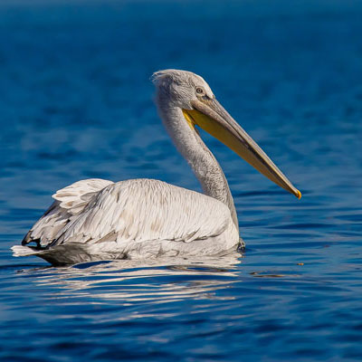 dalmatian-pelikaan albanie divjake karavasta